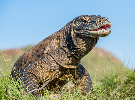 The Komodo dragon ( Varanus komodoensis ) raised the head with open mouth. It is the biggest living lizard in the world. Island Rinca. Indonesia. Stock Photo