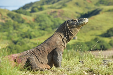 cruel: Komodo dragon ( Varanus komodoensis ) in natural habitat. Biggest living lizard in the world.  island Rinca. Indonesia.