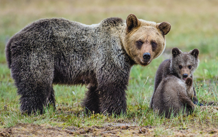 edge: She-Bear and Cubs of Brown bear (Ursus Arctos Arctos) on the swamp in the summer forest. Natural green Background