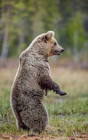 bear s: Brown bear standing on his hind legs on a swamp. Ursus Arctos ( Brown Bear)