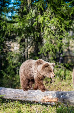Cub of Brown bear (Ursus Arctos Arctos) walking on a log in the summer forest. Natural green Background