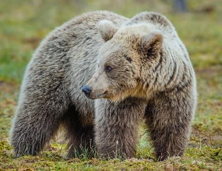 background: Wild adult Brown Bear (Ursus Arctos) in the summer forest. Green natural background Stock Photo