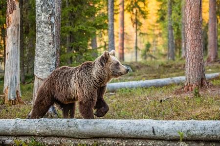 야생 성인 브라운 베어 (Ursus Arctos) 여름 숲에서. 녹색 자연 배경
