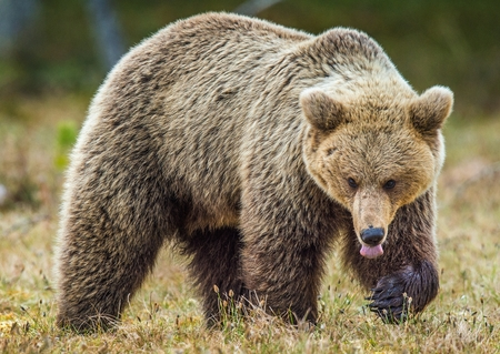 Wild adult Brown Bear (Ursus Arctos) in the summer forest. Green natural background Stock Photo