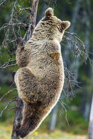 europeans: The bear cub climbing on the tree. Back view. Ursus Arctos (Brown Bear)