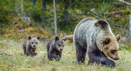 bear s: She-Bear and Cubs of Brown bear (Ursus Arctos Arctos) on the swamp in the summer forest. Natural green Background
