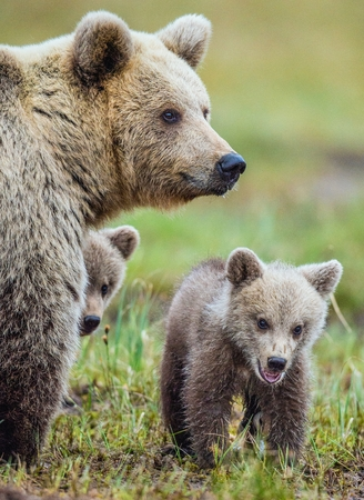 Closeup portrait of She-Bear and Cubs of Brown bear (Ursus Arctos Arctos) on the swamp in the summer forest. Natural green Background