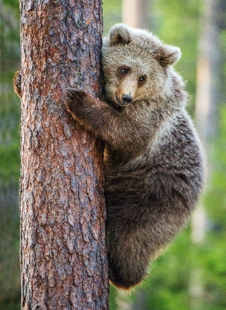 Cub of Brown bear on the tree. (Ursus Arctos Arctos) Brown Bear.