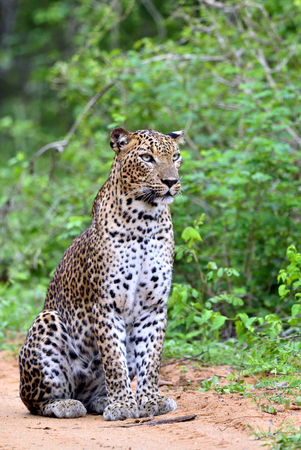 Leopard sitting on a sand road. The Sri Lankan leopard (Panthera pardus kotiya)