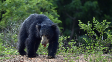 The Sri Lankan sloth bear (Melursus ursinus inornatus) is a subspecies of the sloth bear, mainly found in lowland drylands in the island of Sri Lanka. Stock Photo