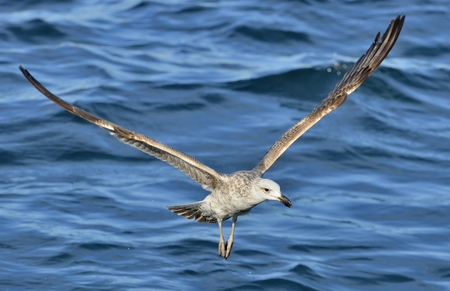 Flying Kelp gull, also known as the Dominican gull and Black Backed Kelp Gull. False Bay, South Africa