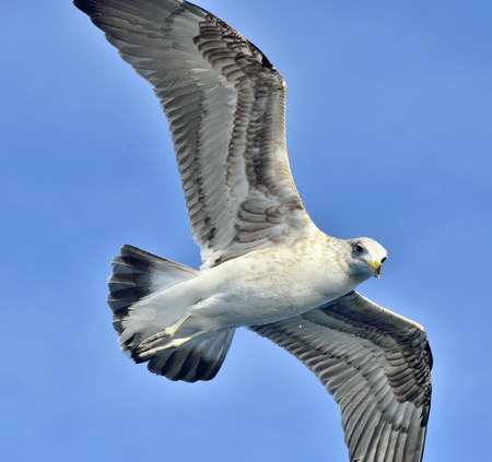 Flying Juvenile Kelp gull (Larus dominicanus), also known as the Dominican gull and Black Backed Kelp Gull. Blue sky background. False Bay, South Africa Stock Photo
