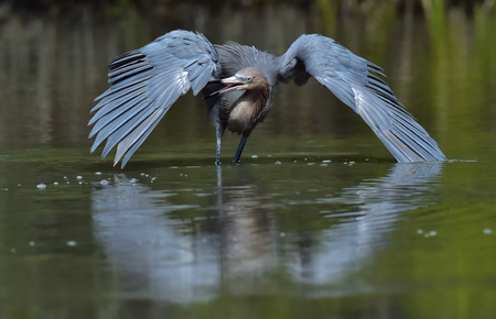 Little Blue Heron (Egretta caerulea) fishing, goes on water. Natural background. Cuba 스톡 콘텐츠