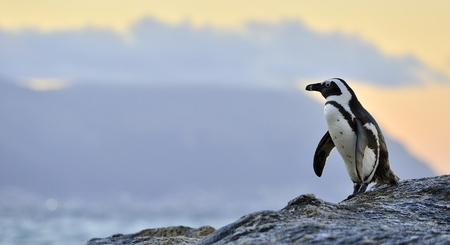 African penguins (spheniscus demersus) The African penguin on the shore in  evening twili