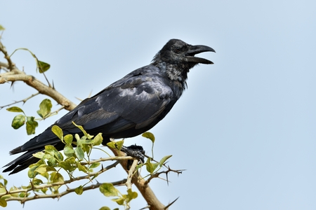 Cawing crow.The Indian jungle crow (Corvus culminatus) on the branch. Blue sky background