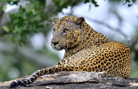 Old Leopard male with scars on the face. The Sri Lankan leopard (Panthera pardus kotiya) male.