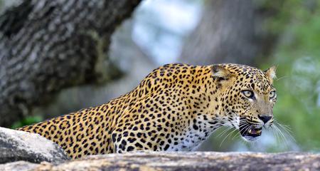 Leopard roaring. Leopard on a stone. The Sri Lankan leopard (Panthera pardus kotiya) female.