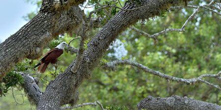 Brahminy Kite on the tree. The brahminy kite (Haliastur indus), also known as the red-backed sea-eagle. Sri Lanka Stock Photo