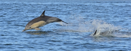 Dolphin, swimming in the ocean. Dolphin swim and jumping from the water. The long-beaked common dolphin (scientific name: Delphinus capensis) in the atlantic ocean.