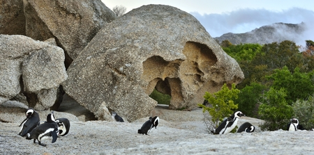African penguins (spheniscus demersus) go ashore from the ocean at evening twilight. African penguin (spheniscus demersus) at the Boulders colony. South Africa. Stock Photo
