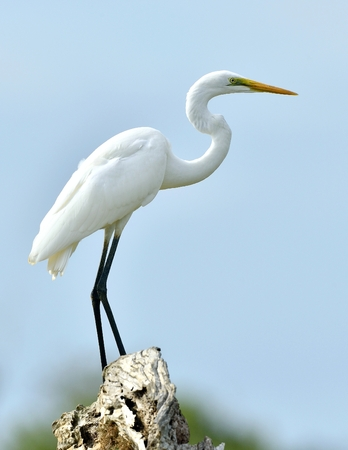 Great Egret and blue sky background. Ardea alba, also known as the common egret, large egret or (in the Old World) great white egret or great white heron. Stock Photo