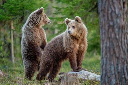 Brown Bears (Ursus Arctos) in the summer forest.
