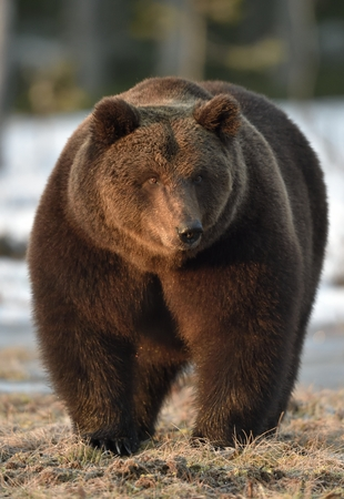 Close-up Portrait of Adult Male of Brown Bear (Ursus arctos) in sunset light. Spring forest. Stock Photo
