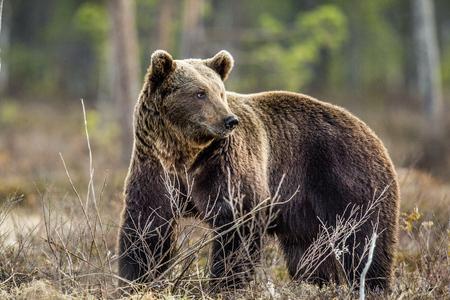 Wild Brown Bear (Ursus arctos) on a swamp in Spring forest. Natural habitat