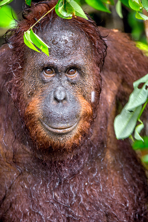 A close up portrait of the Bornean orangutan (Pongo pygmaeus) under rain in the wild nature. Central Bornean orangutan ( Pongo pygmaeus wurmbii ) in natural habitat.