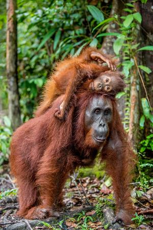A female of the orangutan with a cub in a natural habitat. Central Bornean orangutan (Pongo pygmaeus wurmbii) in the wild nature.