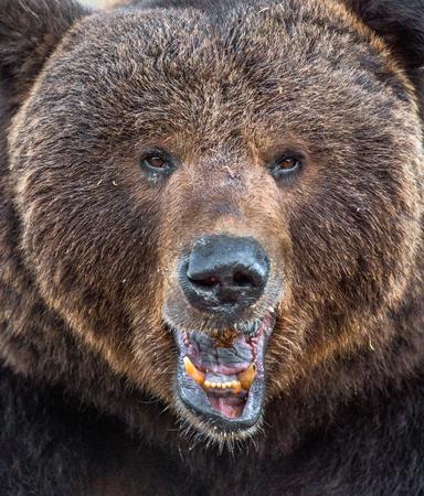 The close up portrait of wild adult male brown bear (Ursus arctos). Stock Photo