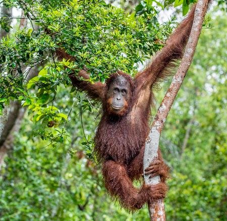 Great Ape on the tree. Central Bornean orangutan  ( Pongo pygmaeus wurmbii ) in natural habitat. Wild nature in Tropical  Rainforest of Borneo.