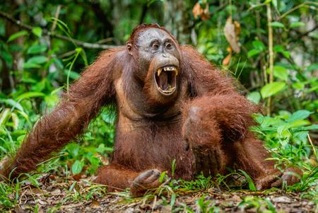 A close up portrait of the Bornean orangutan (Pongo pygmaeus) with open mouth. Wild nature. Central Bornean orangutan  ( Pongo pygmaeus wurmbii ) in natural habitat.  Tropical  Rainforest of Borneo. Stock Photo