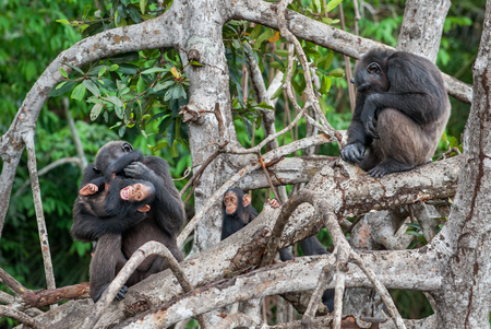 Chimpanzee (Pan troglodytes) with a cub on mangrove branches. Mother-chimpanzee sits and holds cub on hands. Central chimpanzee or tschego, (Pan troglodytes troglodytes). Congo. Africa. Stock Photo