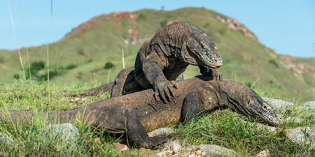 The Fighting Komodo dragon (Varanus komodoensis) for domination. It is the biggest living lizard in the world. Island Rinca. Indonesia. Stock Photo