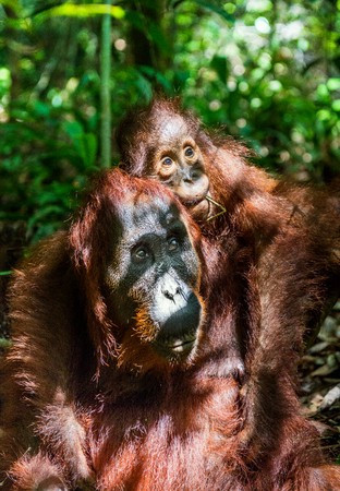 A female of the orangutan with a cub in a natural habitat.  Central Bornean orangutan (Pongo pygmaeus wurmbii) in the wild nature. Wild Tropical Rainforest of Borneo. Indonesia Stock Photo
