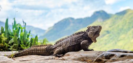 Iguana in the mountain. Cuban rock iguana (Cyclura nubila), also known as the Cuban ground iguana. 스톡 콘텐츠