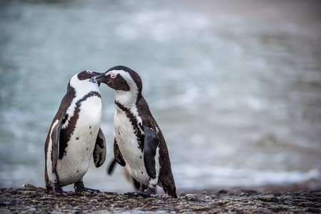 Kissing Penguins.  African penguins during mating season. African penguin ( Spheniscus demersus) also as the jackass penguin and black-footed penguin. Boulders colony. South Africa 版權商用圖片
