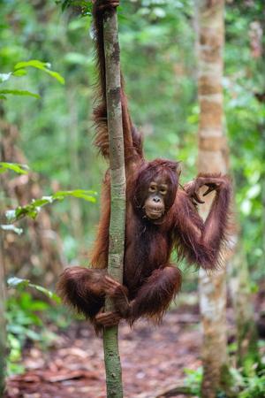 A close up portrait of the young Bornean orangutan (Pongo pygmaeus) with open mouth. Wild nature. Central Bornean orangutan ( Pongo pygmaeus wurmbii ) in natural habitat. Tropical Rainforest of Borneo Banque d'images