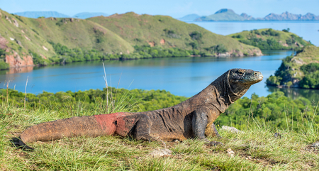 Komodo dragon. ( Varanus komodoensis ) Biggest in the world living lizard in natural habitat. Rinca Island. Indonesia. Stock Photo