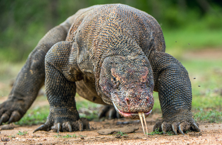 Komodo dragon with the  forked tongue sniff air. Close up portrait. ( Varanus komodoensis ) Biggest in the world living lizard in natural habitat.  Rinca Island. Indonesia.