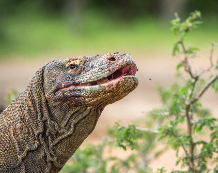 Close up Portrait of Komodo dragon with open mouth.  ( Varanus komodoensis ) Biggest in the world living lizard in natural habitat.  Rinca Island. Indonesia. Stock Photo