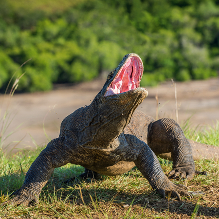 The Komodo dragon  Varanus komodoensis  raised the head with open mouth. It is the biggest living lizard in the world. Island Rinca. Indonesia. Stock Photo