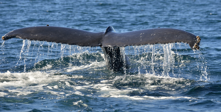 Tail of the mighty humpback whale (Megaptera novaeangliae). Stock Photo