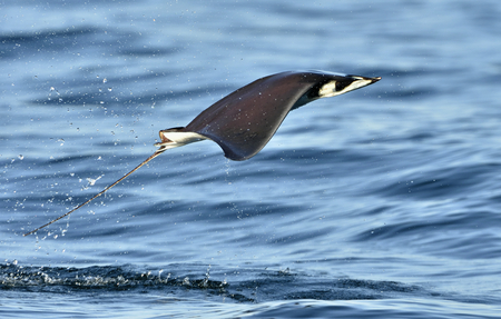 Mobula ray jumping out of the water. Mobula munkiana, known as the manta de monk, Munks devil ray, pygmy devil ray, smoothtail mobula, is a species of ray in the family Myliobatida. Pacific ocean