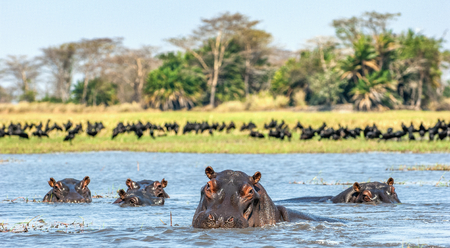 The common hippopotamus in the water. Sunny day. Africa