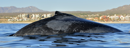 Humpback whale swimming in the Pacific Ocean, back of the whale diving