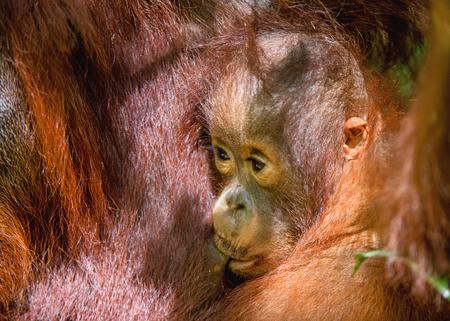Cub sucking milk from orangutan mom. Mother orangutan and cub in a natural habitat. Bornean orangutan (Pongo pygmaeus wurmbii) in the wild nature. Rainforest of Island Borneo.