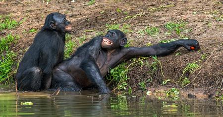 Bonobos mating in the water. The Bonobo ( Pan paniscus). Democratic Republic of Congo. Africa Stock Photo
