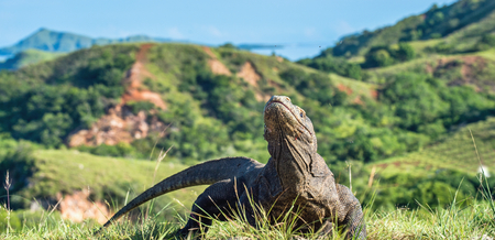 Komodo dragon (Varanus komodoensis). The Biggest in the world living lizard in natural habitat. Island Rinca. Indonesia.